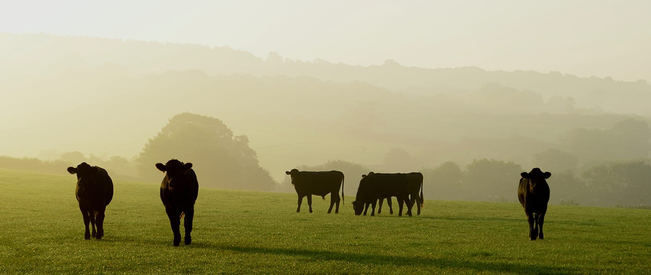 angus cows in a field