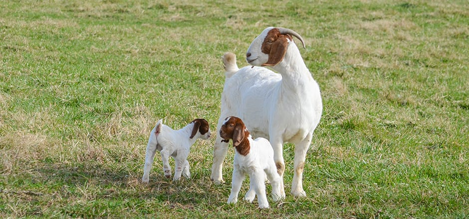 doe goat with her twin kids