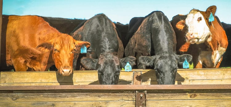cattle eating feed from a trough